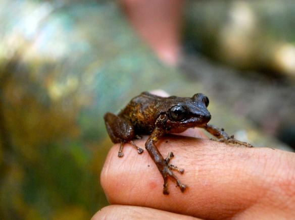 Coqui frog in Puerto Rico
