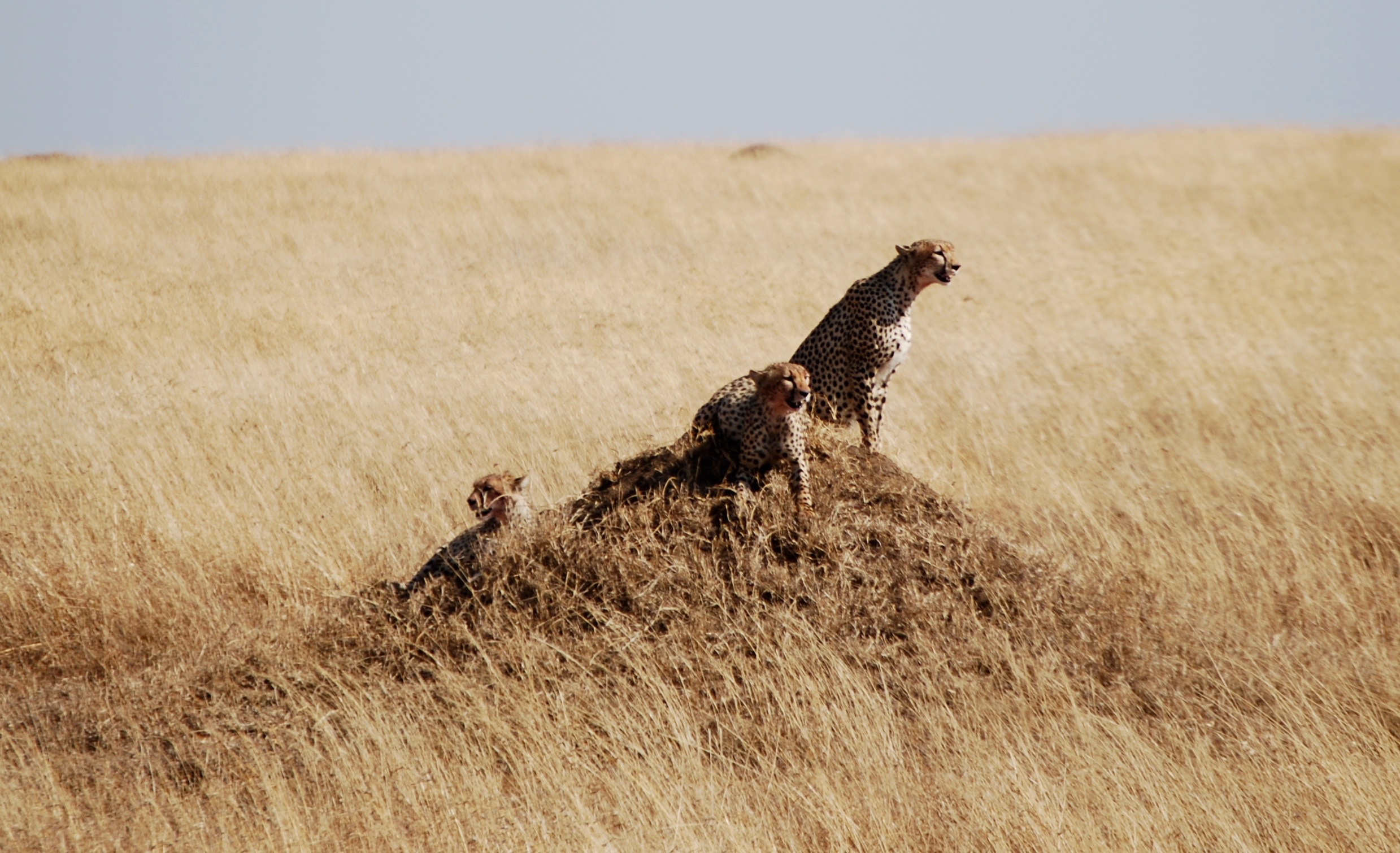 This foursome had just hunted a gazelle in the Serengeti. Their mouths are bloody!