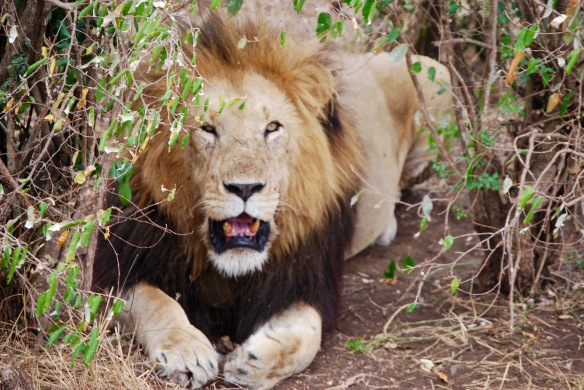 We came across this male lion panting in the heat under a tree in the Serengeti.